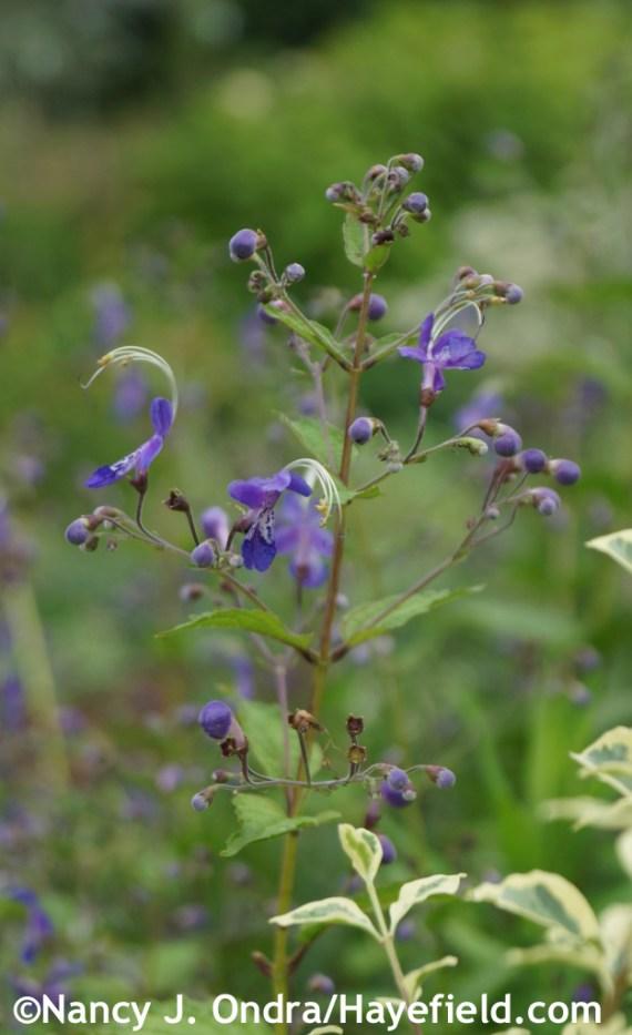 Bluebeard (Caryopteris divaricata) at Hayefield.com