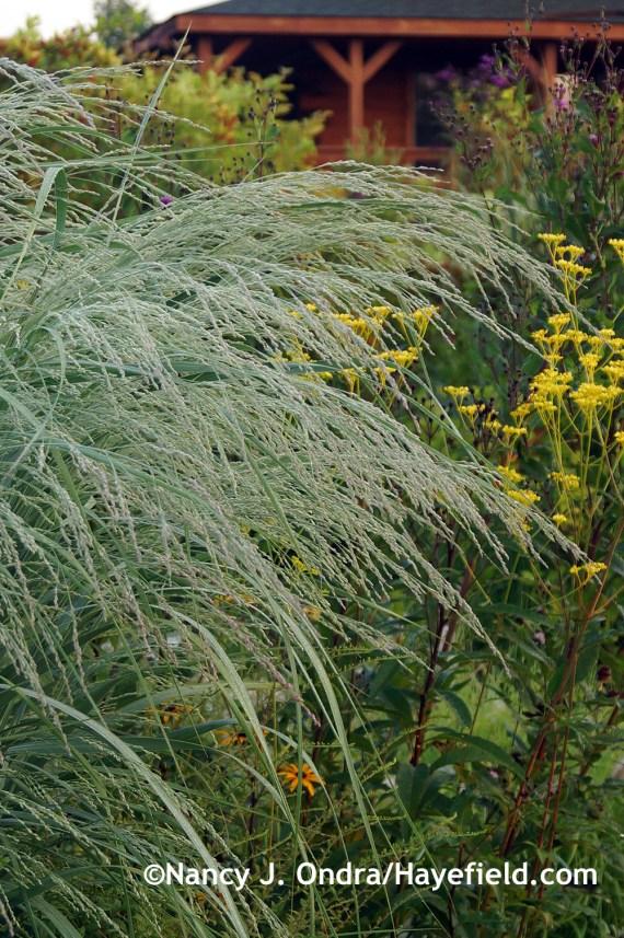 'Dewey Blue' bitter panic grass (Panicum amarum) at Hayefield.com