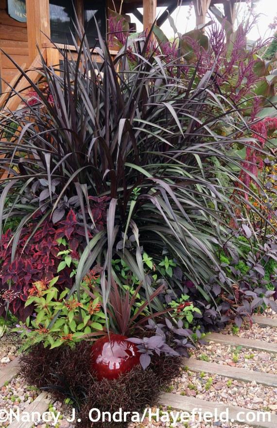 Pennisetum Vertigo ('Tift 8') at Hayefield.com