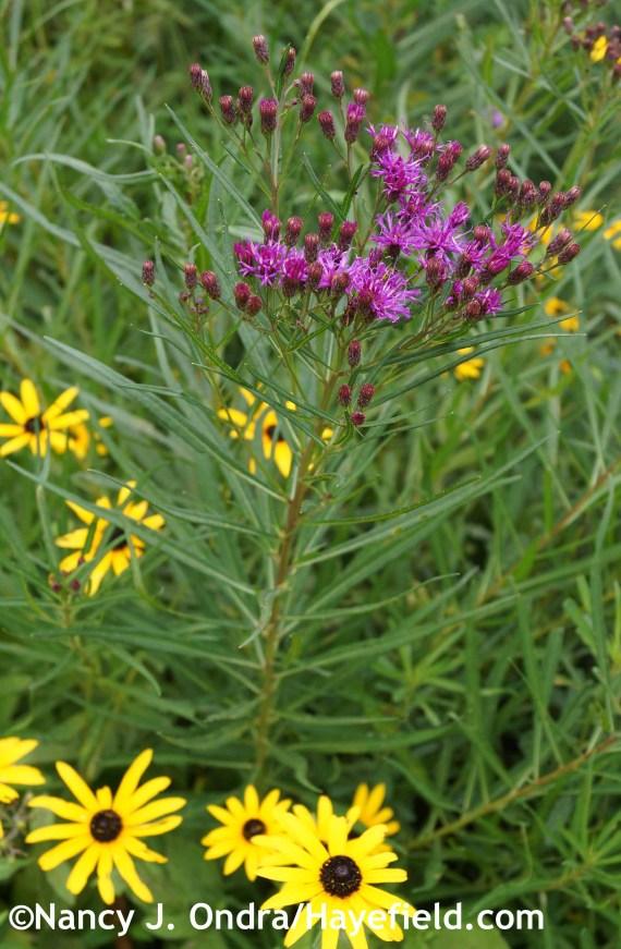 Vernonia lettermannii at Hayefield.com