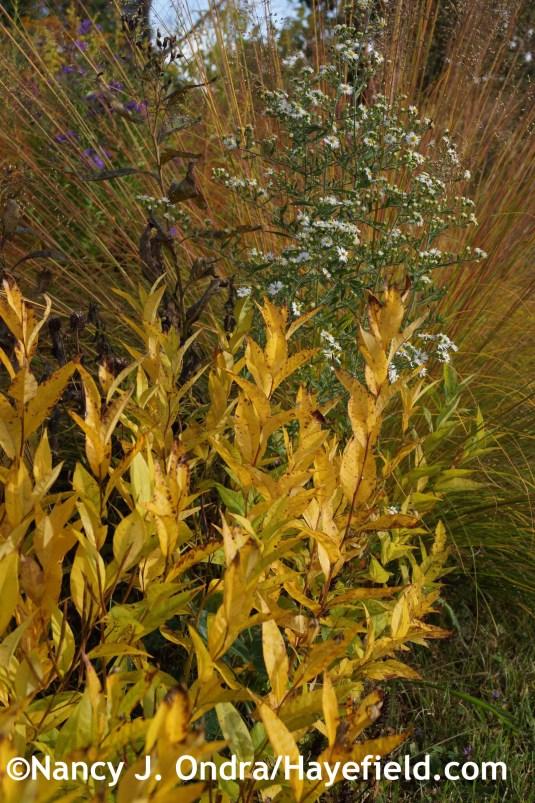 Amsonia rigida at Hayefield.com