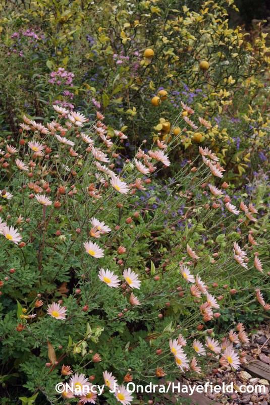 Chrysanthemum 'Sheffield Pink' at Hayefield.com