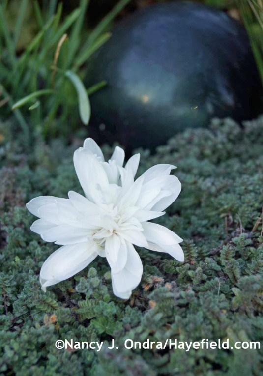 Colchicum autumnale 'Alboplenum' at Hayefield.com