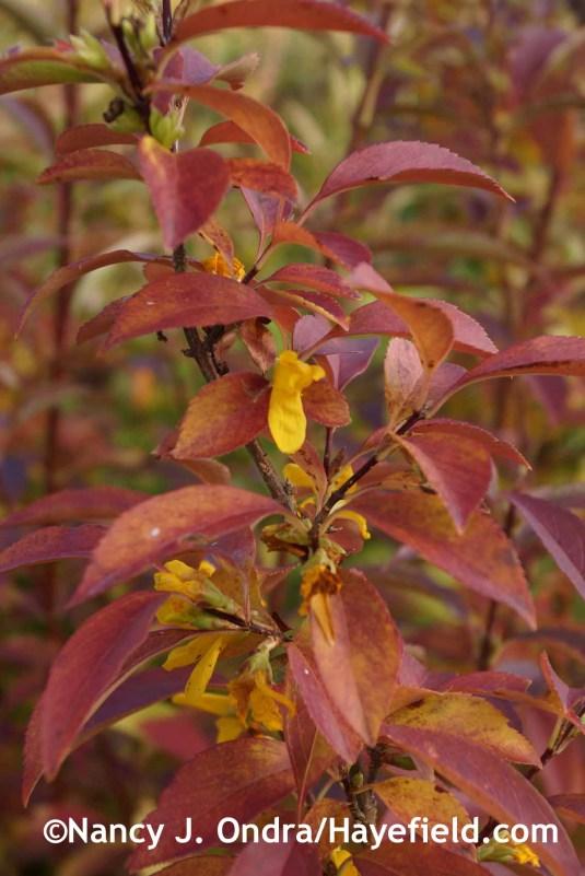 Forsythia viridissima var. koreana 'Kumson' at Hayefield.com