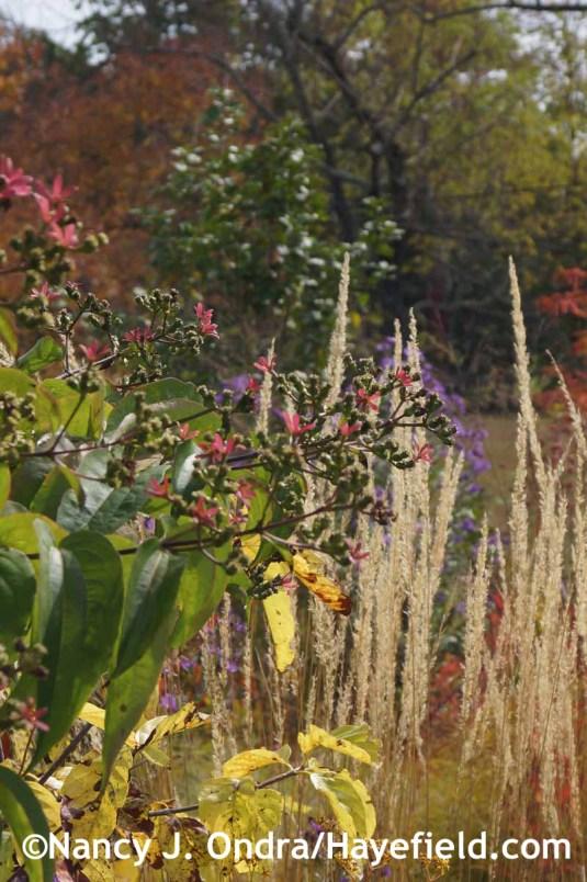 Heptacodium miconioides at Hayefield.com