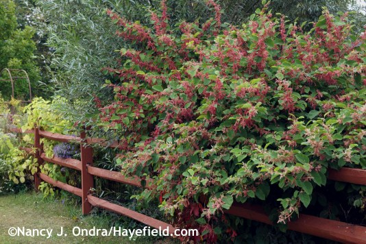 Persicaria Crimson Beauty at Hayefield.com