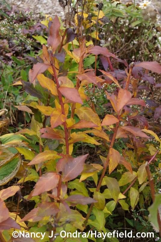 Platycodon grandiflorus at Hayefield.com