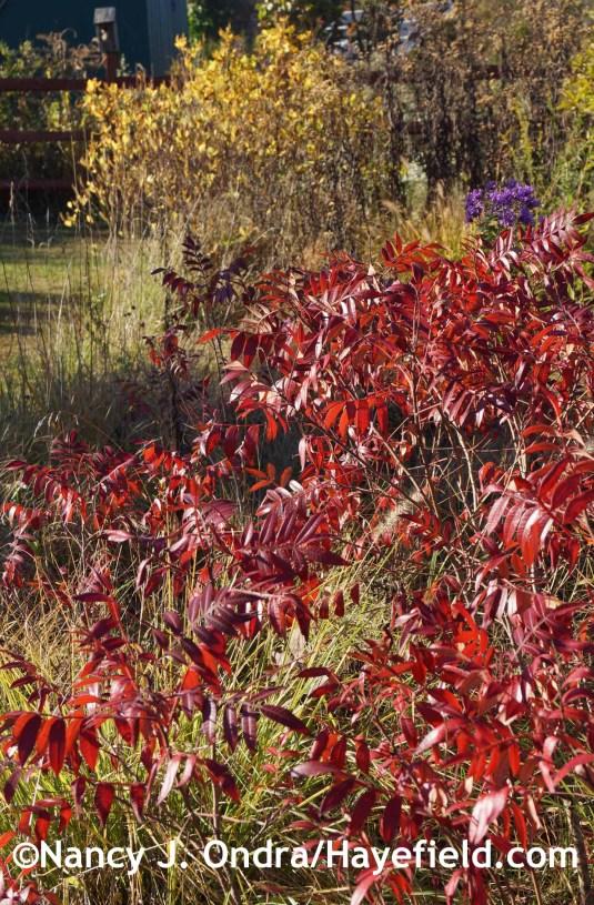Rhus copallinum at Hayefield.com