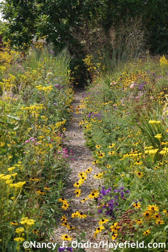 Aster Path at Hayefield.com