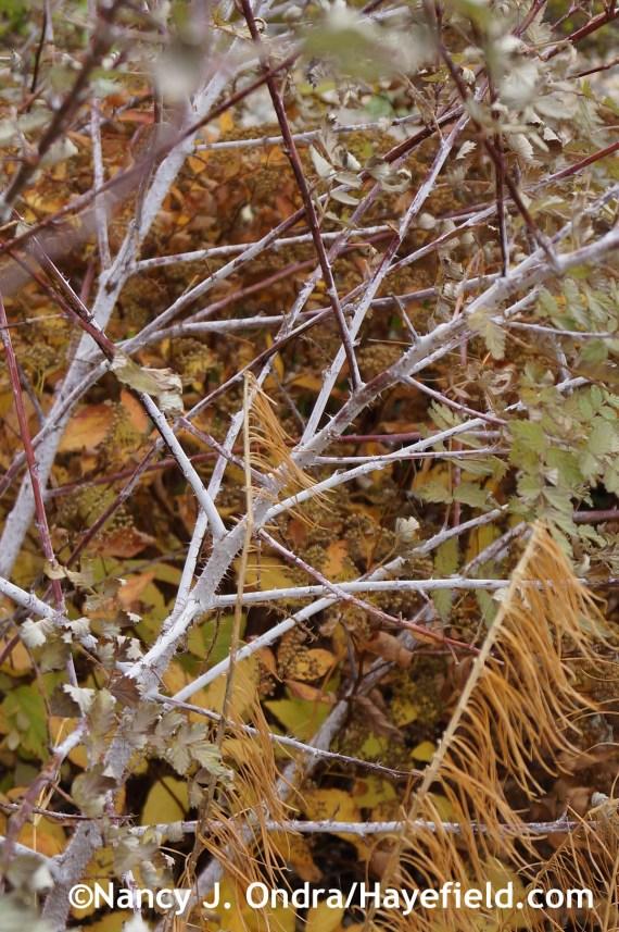 Rubus thibetanus stems at Hayefield.com