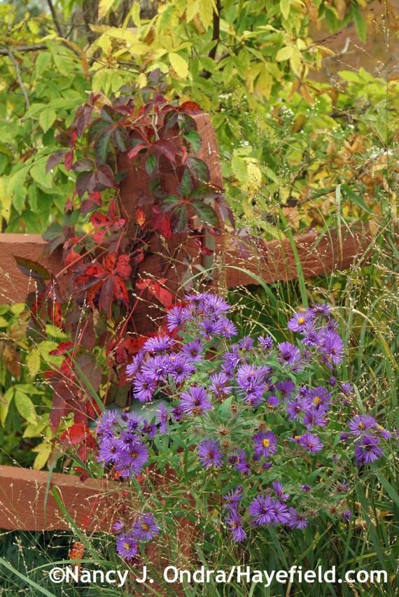 Symphyotrichum novae-angliae Parthenocissus quinquefolia and Acer triflorum at Hayefield.com