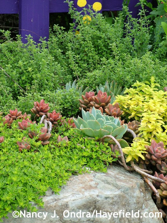 'Transparent Yellow' thyme (Thymus) and variegated lemon thyme (T. citriodorus 'Variegatus') with 'Bronze' graptosedum (x Graptosedum), blue echeveria (Echeveria glauca) and 'Aztec Gold' creeping speedwell (Veronica prostrata) at Hayefield.com