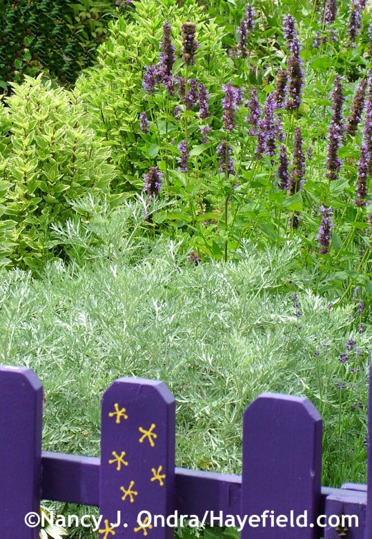'Powis Castle' wormwood (Artemisia) with 'Black Adder' anise hyssop (Agastache) and 'Pesto Perpetuo' basil (Ocimum) at Hayefield.com