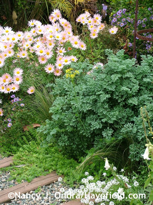 Rue (Ruta graveolens) with 'Sheffield Pink' chrysanthemum, Mexican feather grass (Stipa tenuissima), crosswort (Phuopsis stylosa), and sweet alyssum (Lobularia maritima) at Hayefield.com