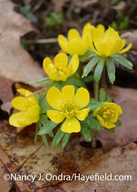 Winter aconite (Eranthis hyemalis) at Hayefield.com