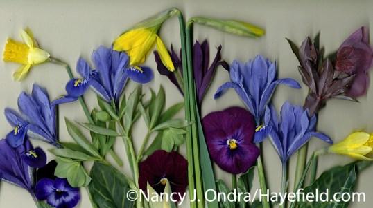 Mixed daffodils with reticulated irises (Iris reticulata), Lenten rose (Helleborus x hybridus), green hellebore (H. viridis), violas, and Italian arum (Arum italicum 'Pictum') at Hayefield.com