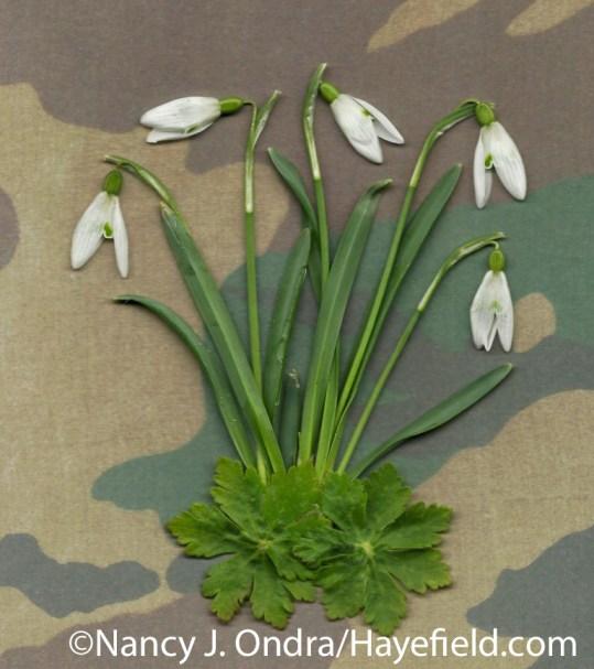 Snowdrops (Galanthus nivalis) with bigroot geranium (Geranium macrorrhizum) leaves at Hayefield.com