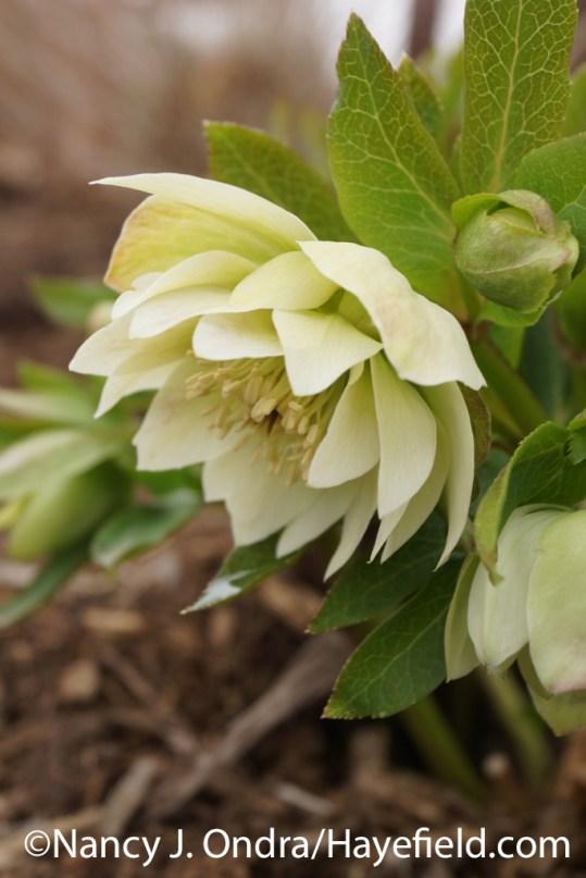 Lenten rose (Helleborus x hybridus) at Hayefield
