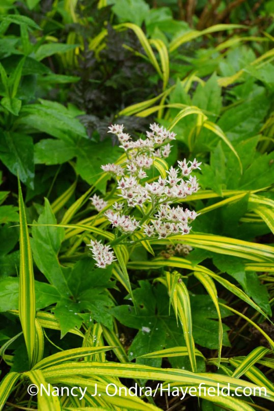 Mukdenia rossii with Hakonechloa macra Aureola at Hayefield.com