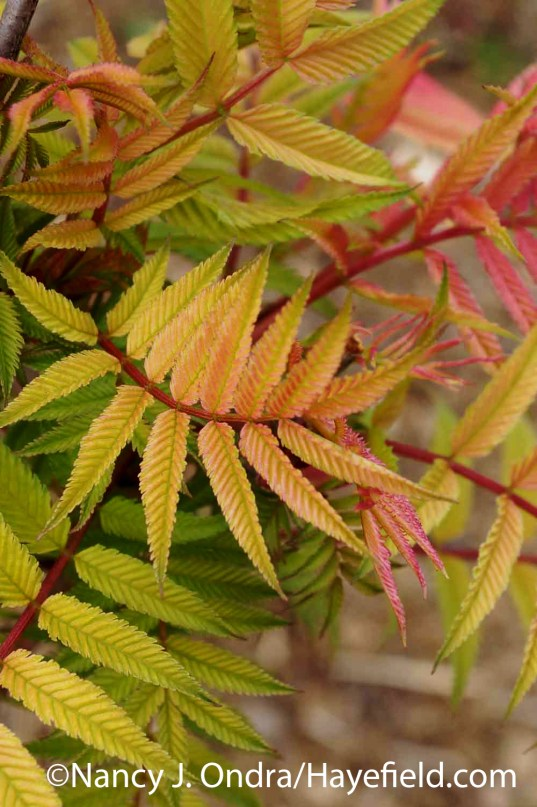 Sorbaria sorbifolia Sem at Hayefield.com