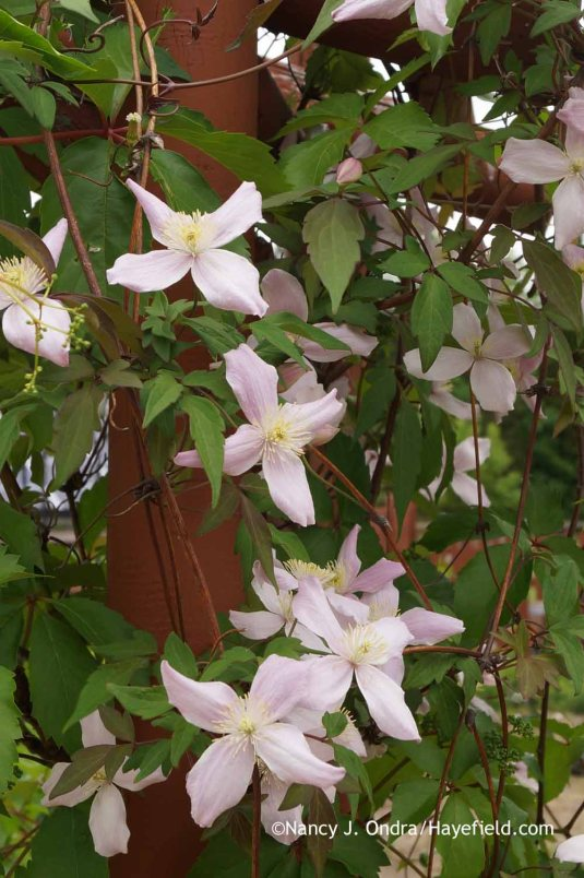 Clematis montana var. rubens at Hayefield.com