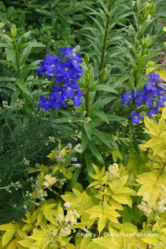 Delphinium grandiflorum 'Diamonds Blue' with Filipendula ulmaria 'Aurea' at Hayefield.com