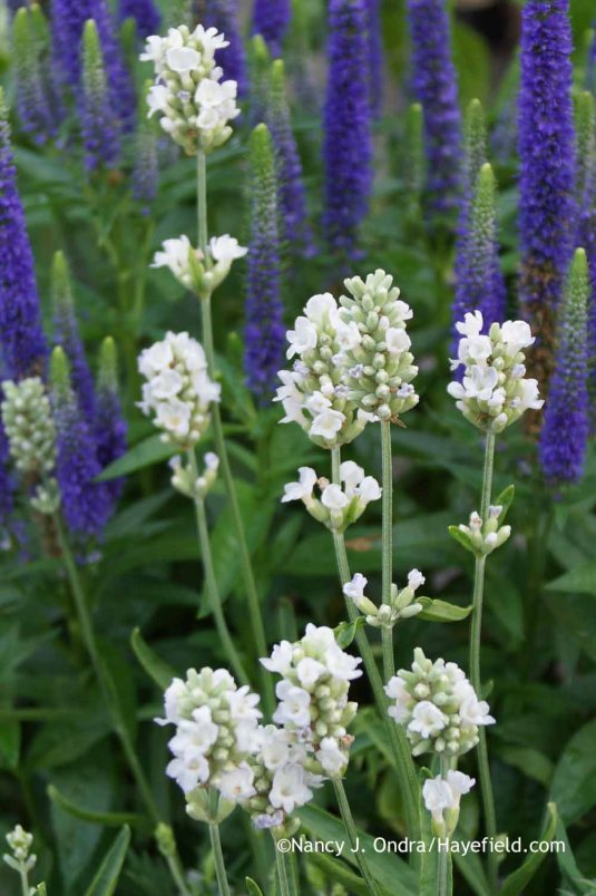 Lavandula angustifolia 'Ellagance Ice' with Veronica 'Royal Candles' at Hayefield