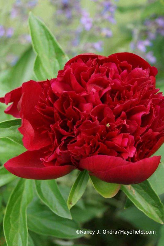 Paeonia Karl Rosenfeld at Hayefield.com