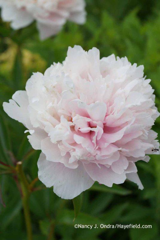 Paeonia Sarah Bernhardt at Hayefield.com