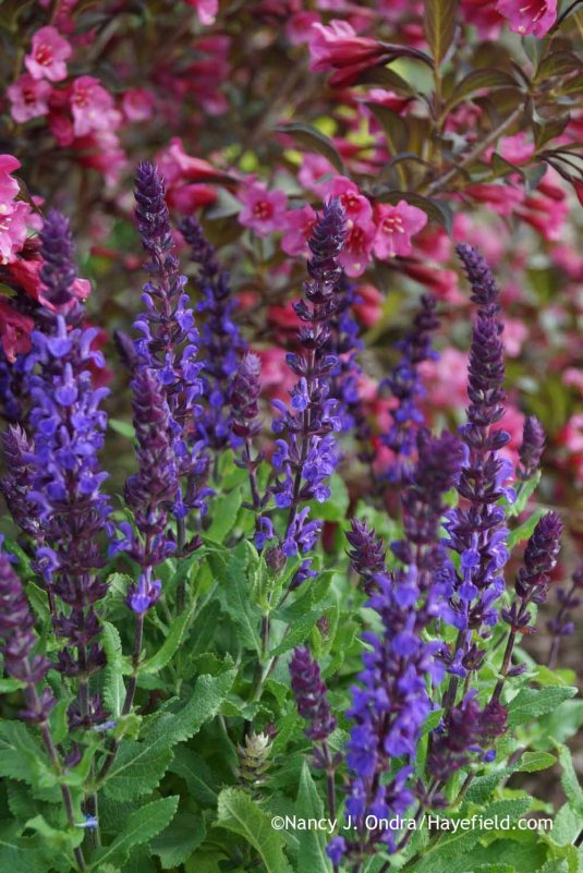 Salvia nemorosa 'New Dimensions Blue' with Weigela 'Bramwell' [Fine Wine] at Hayefield.com