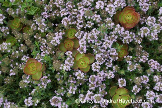 Thymus praecox Coccineus Group with Sedum spurium 'Elizabeth' at Hayefield.com