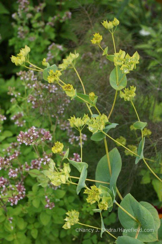 Bupleurum rotundifolium with Foeniculum vulgare 'Purpureum' and Origanum vulgare 'Aureum'; Nancy J. Ondra at Hayefield
