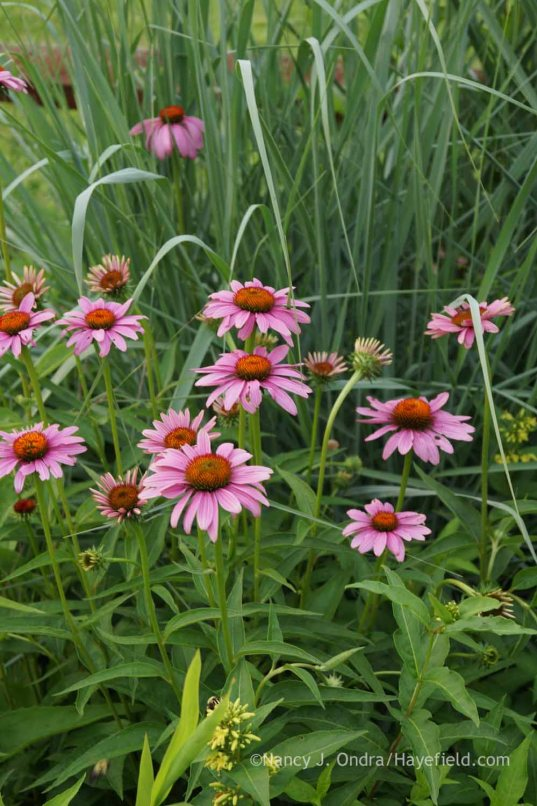 Echinacea purpurea with Panicum amarum 'Dewey Blue'; Nancy J. Ondra at Hayefield