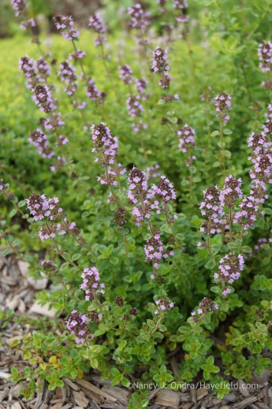 Thymus 'Oregano'; Nancy J. Ondra at Hayefield