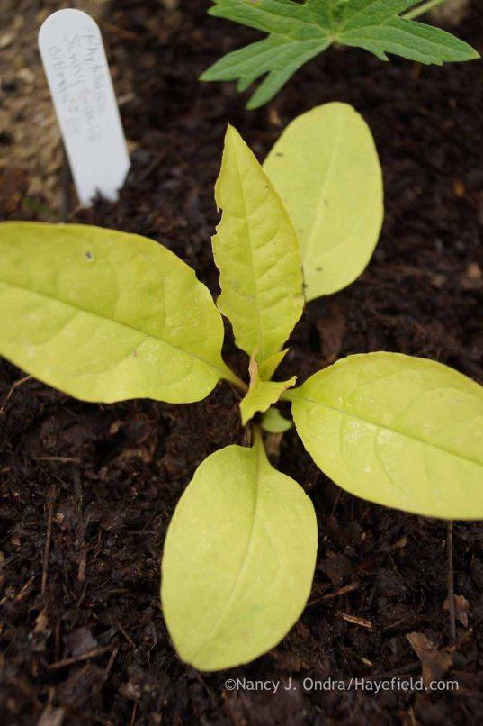 Phytolacca americana 'Sunny Side Up' seedling; Nancy J. Ondra at Hayefield