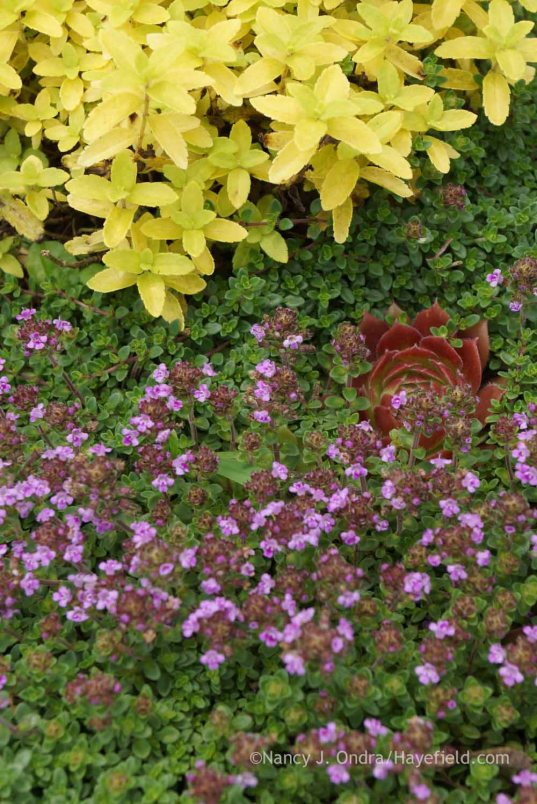 Thymus praecox Coccineus Group with Veronica prostrata 'Aztec Gold' and Sempervivum tectorum 'Rocknoll Rosette'; Nancy J. Ondra at Hayefield