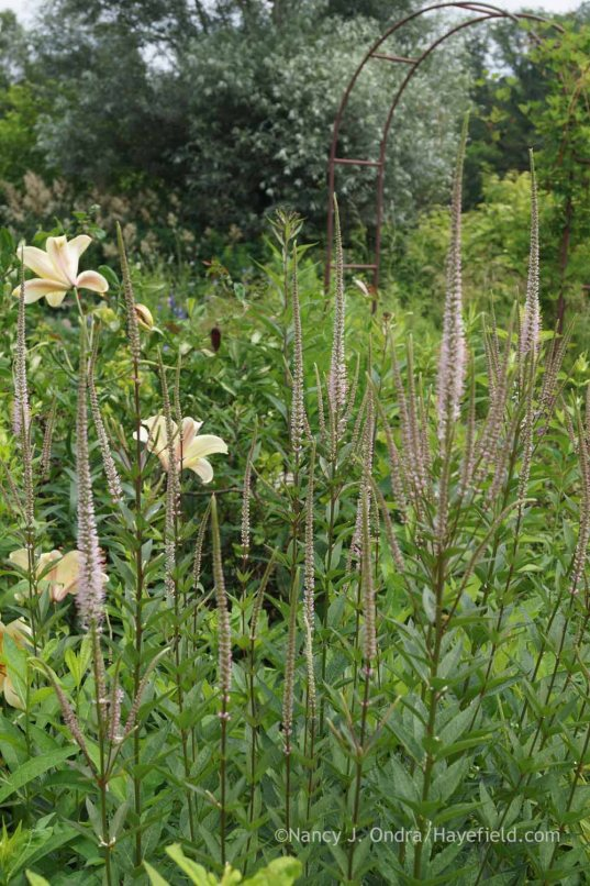 Veronicastrum virginicum 'Erica'  with Lilium 'Conca d'Or'; Nancy J. Ondra at Hayefield