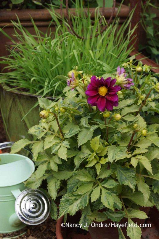 Dahlia Figaro Violet Shades (variegated form); Nancy J. Ondra at Hayefield