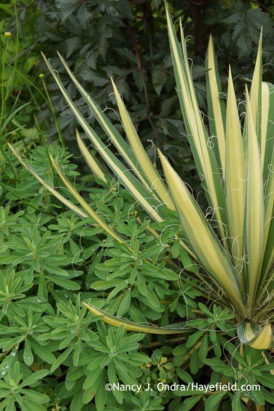 Yucca filamentosa Golden Sword with Euphorbia polychroma and Dahlia Bishop of Llandaff; Nancy J. Ondra at Hayefield