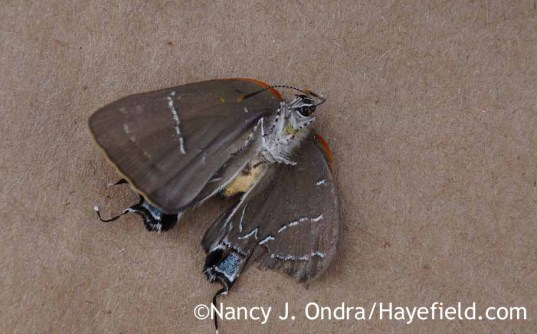 Underside of White M Hairstreak (Parrhasius m-album); Nancy J. Ondra at Hayefield