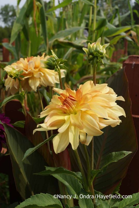 Dahlia 'Babylon Bronze'; Nancy J. Ondra at Hayefield