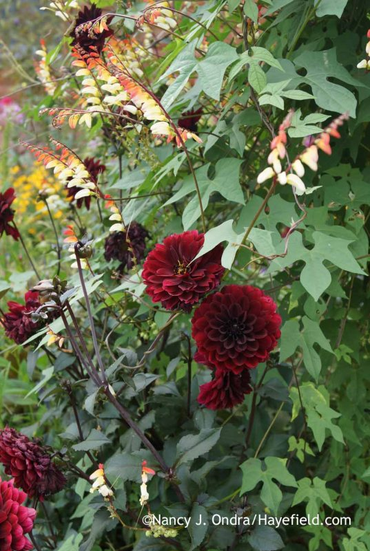 Dahlia Karma Choc with Mina lobata; Nancy J. Ondra at Hayefield