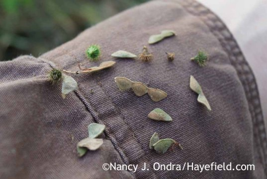 Desmodium canadense and Agrimonia parviflora seeds; Nancy J. Ondra at Hayefield