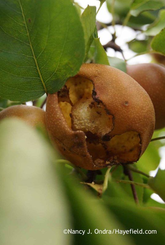 European hornet damage on Asian pear; Nancy J. Ondra at Hayefield