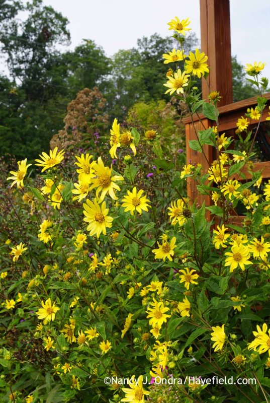 Helianthus 'Lemon Queen'; Nancy J. Ondra at Hayefield