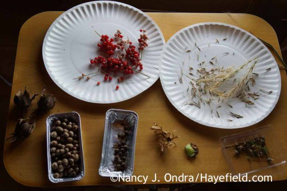 Seeds set out for drying; Nancy J. Ondra at Hayefield