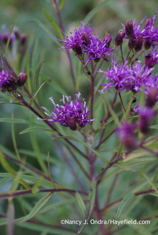 Vernonia lettermannii; Nancy J. Ondra at Hayefield