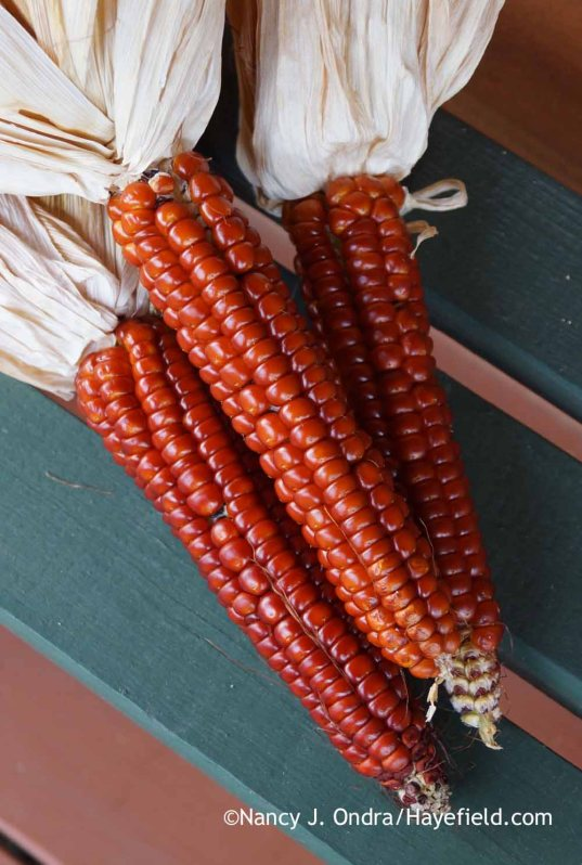 Zea mays red Otto File corn; Nancy J. Ondra at Hayefield