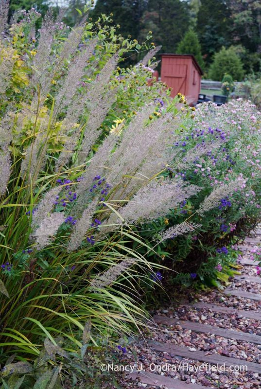 Korean feather reed grass (Calamagrostis brachytricha); Nancy J. Ondra at Hayefield