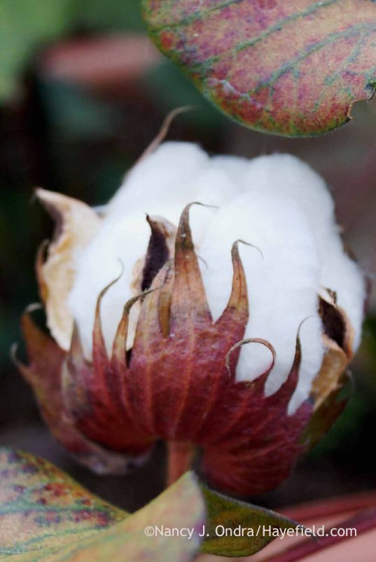 'Red Beauty' cotton (Gossypium) boll; Nancy J. Ondra at Hayefield